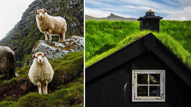 Færøernes mange får