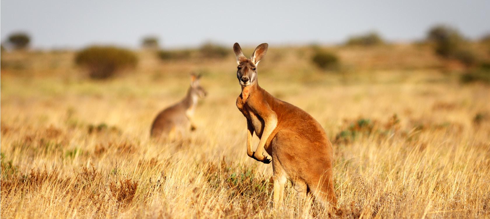 australien krydstogt lille header
