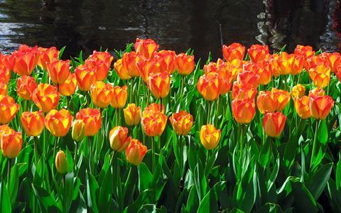 Blomstrende forårskrydstogt