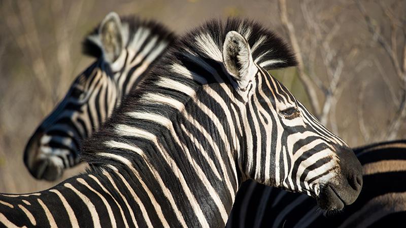 Kom helt tæt på dyrelivet i Sydafrika med Kulturrejser